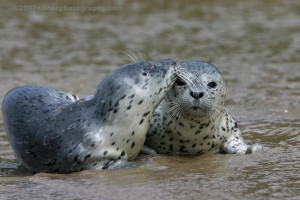 Harbor Seal Profile