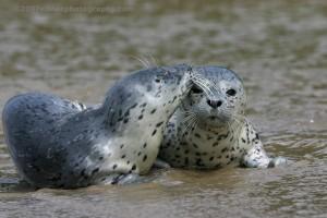 Harbor Seal Profile